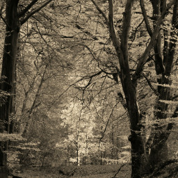photography forest sepia nature black & white