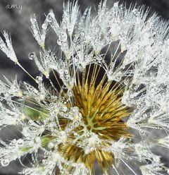 dandelion photography nature flower dew
