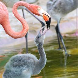 flamingo pets & animals photography love