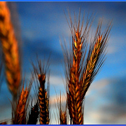 blue nature photography wheat