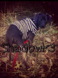 puppy chihuahua animal cute dog